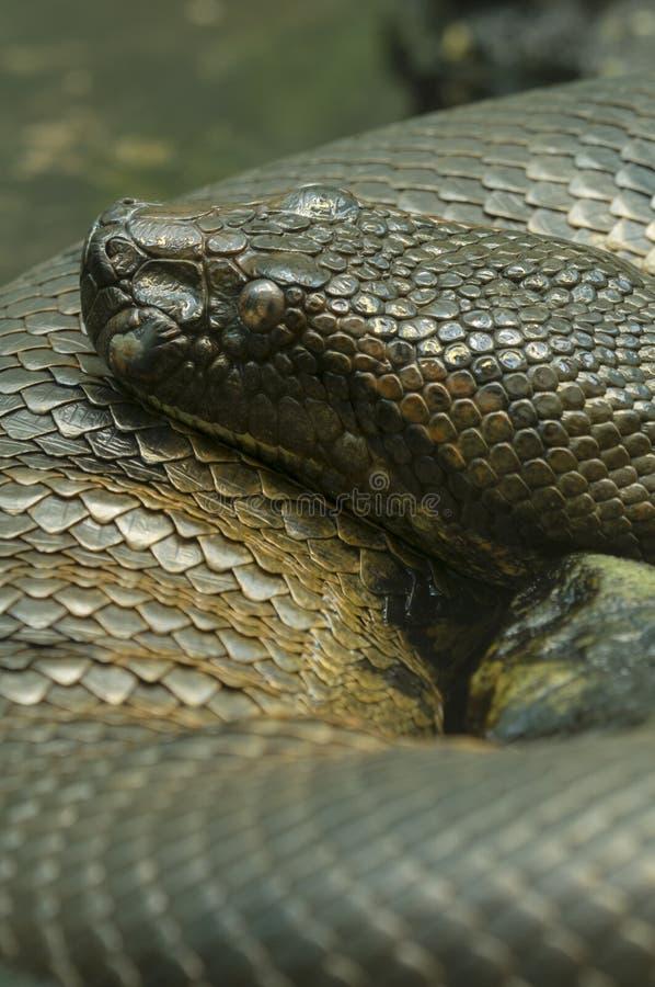 水蟒蛇 图库摄影