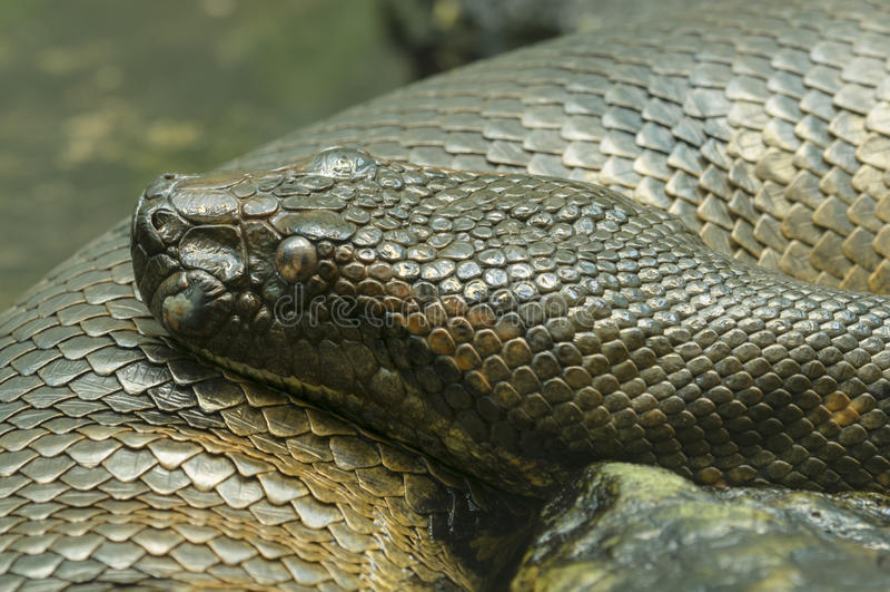 水蟒蛇 库存照片
