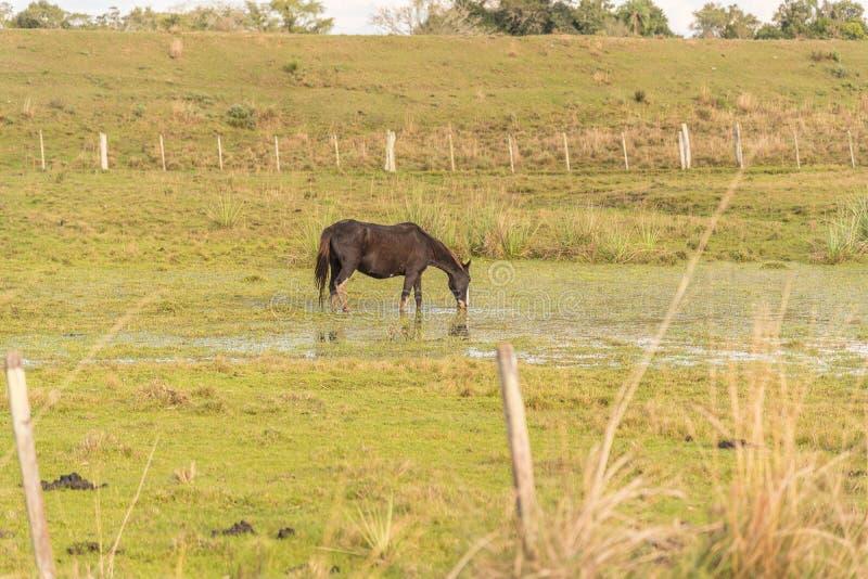 水饮用的马在池塘 免版税库存图片