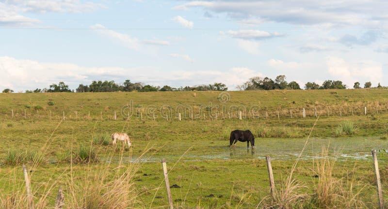 水饮用的马在池塘 库存照片