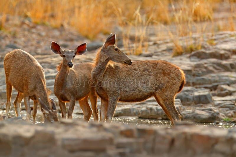 水鹿鹿,单色的Rusa,大动物,印度次大陆,中国,自然栖所 在sto的轰鸣声庄严强有力的成人动物 免版税库存照片