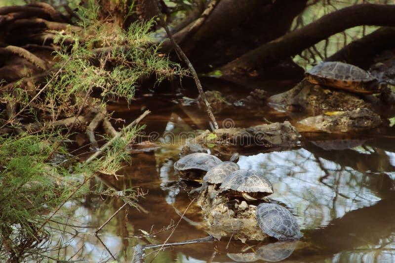 水龟在阳光下 免版税图库摄影