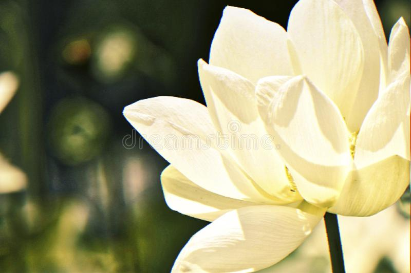 水Lillies,白色与黄色中心 亚洲展览 图库摄影