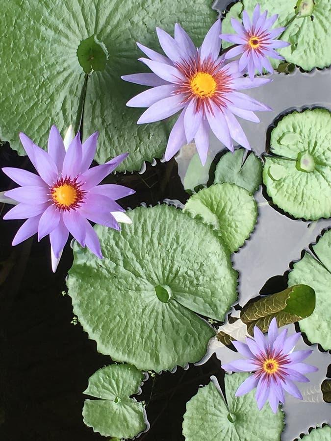 水Lillies 图库摄影