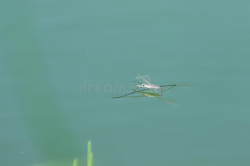 水Striders是与6条腿的一只昆虫 库存照片