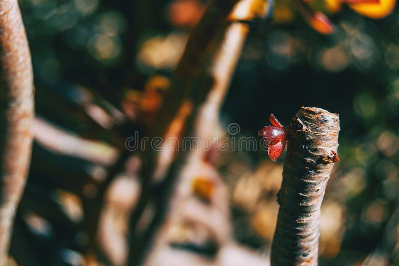 永世arboreum一个红色新芽的特写镜头  免版税图库摄影