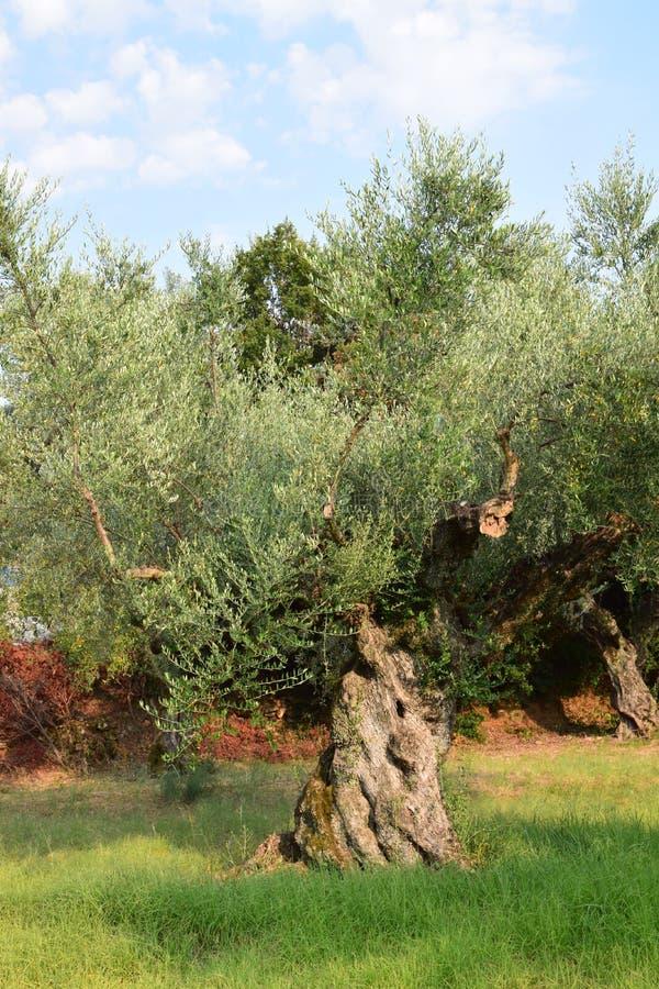 永恒橄榄树 库存照片