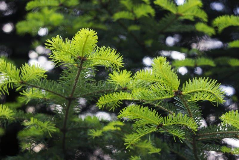 永远绿色树-与年轻鲜绿色的针的云杉,背景 针叶树,春天 库存图片
