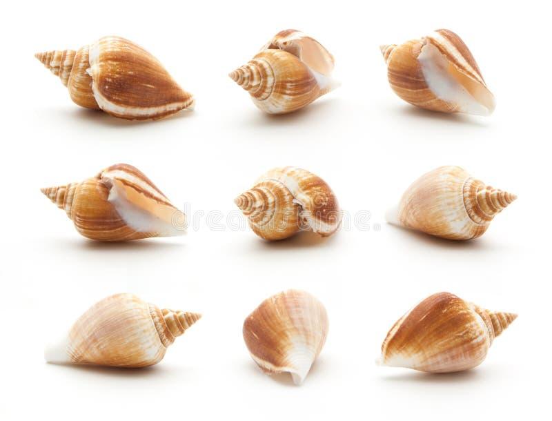 汇集在白色隔绝的海壳 免版税库存图片