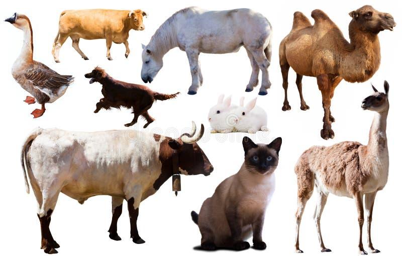 汇集牲口 库存照片