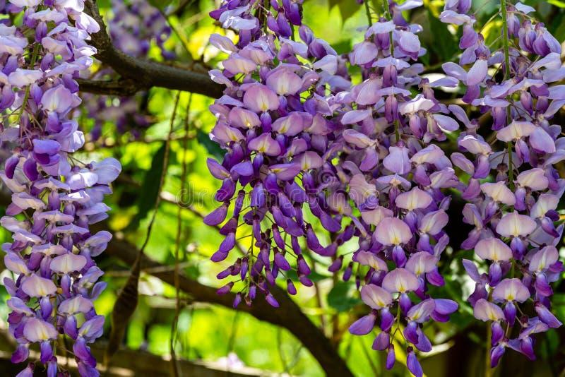 汉语淡紫色的brushs开花的分支和日本紫藤特写镜头  免版税库存图片