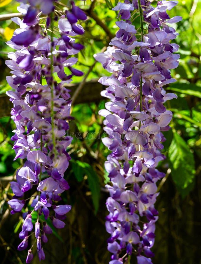 汉语淡紫色的brushs开花的分支和日本紫藤特写镜头  免版税库存照片