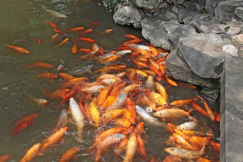 汉语金黄的鲤鱼 双鱼座在池塘 城市上海 库存图片