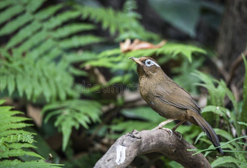 汉语Hwamei,野生鸟在越南 免版税库存照片