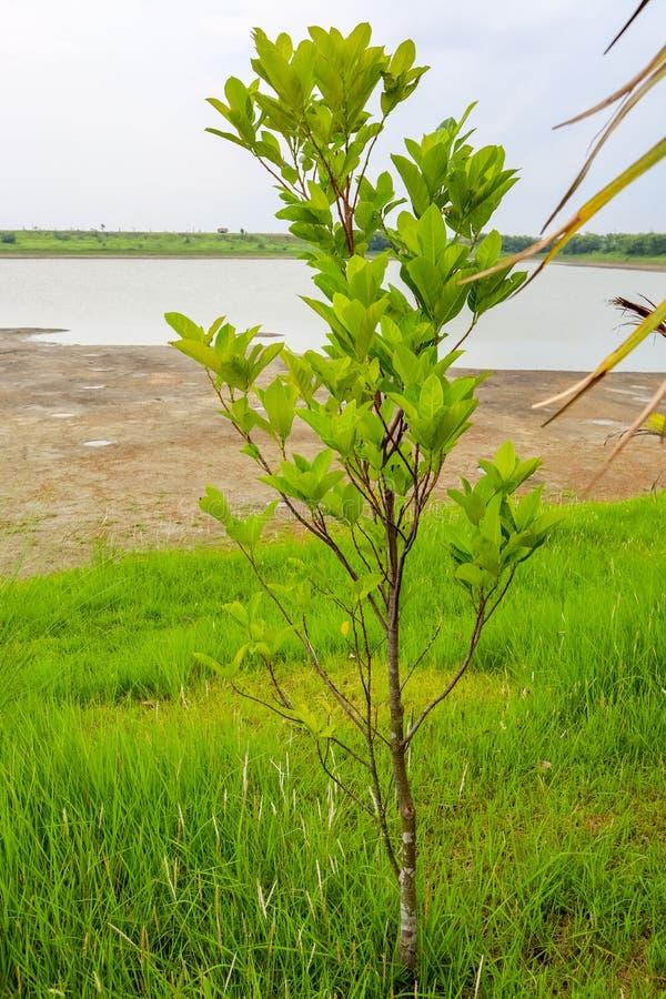 池前小枝子树 图库摄影