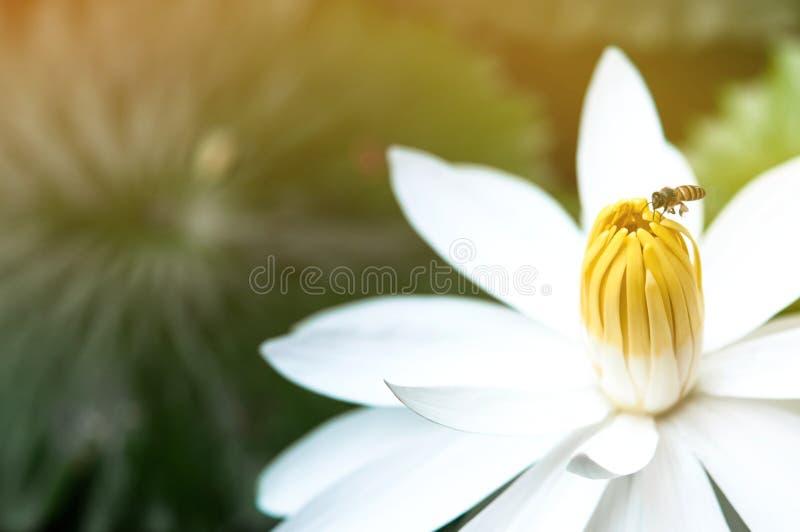 池塘中美丽的白莲花 大莲白色,蜜蜂花上 库存图片