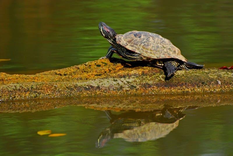 池塘休息的草龟 库存图片