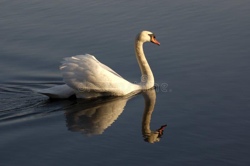 池塘天鹅 免版税库存照片