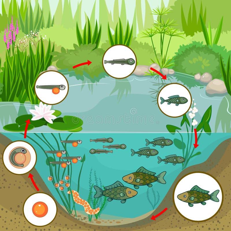 池塘生态系和鱼的生命周期 鱼的发展阶段序列从鸡蛋的到成人动物 皇族释放例证