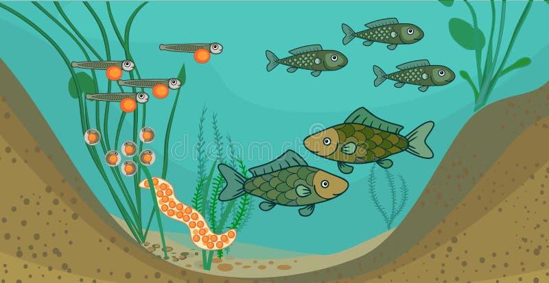 池塘生态系和鱼的生命周期 鱼的发展阶段序列从鸡蛋的到成人动物 库存例证