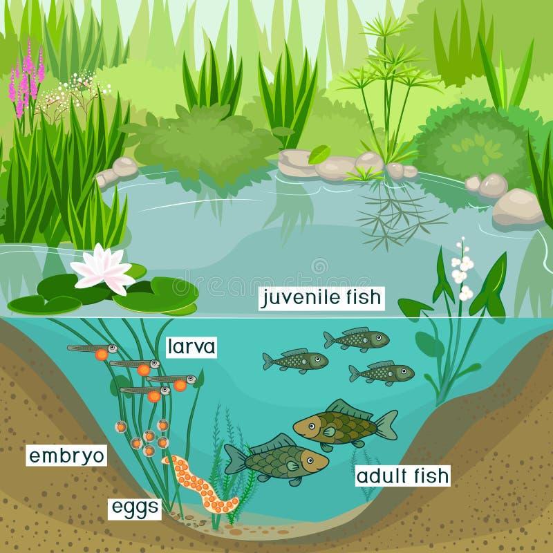 池塘生态系和鱼的生命周期 鱼的发展阶段序列从鸡蛋的到成人动物 向量例证
