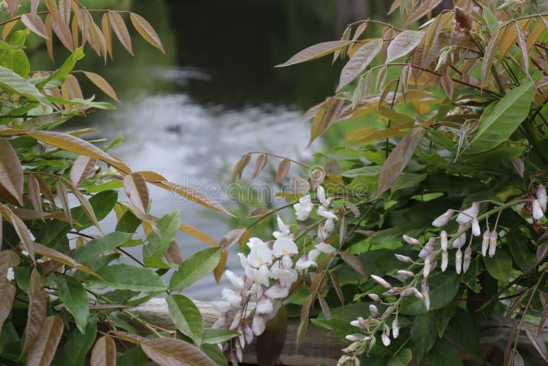 池塘的看法通过开花的白色紫藤的灌木 免版税库存照片