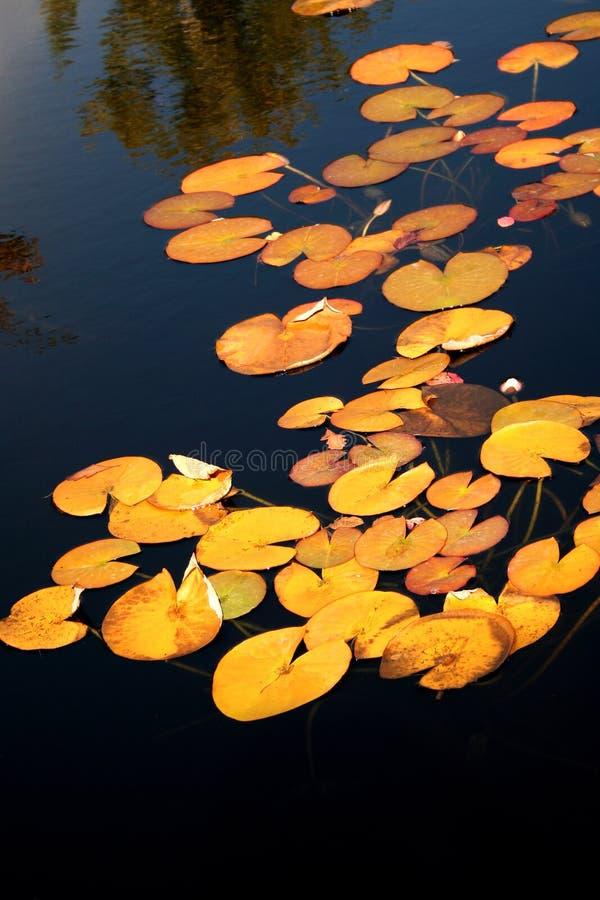池塘的表面上的黄色睡莲叶 库存照片
