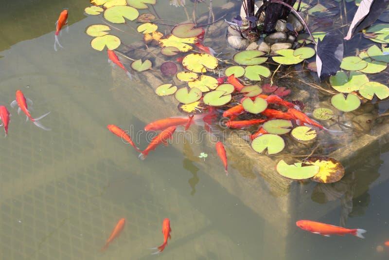 池塘金鱼 库存图片