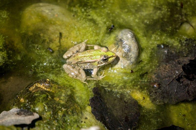 池蛙在一个池塘在克洛de galvani 库存图片