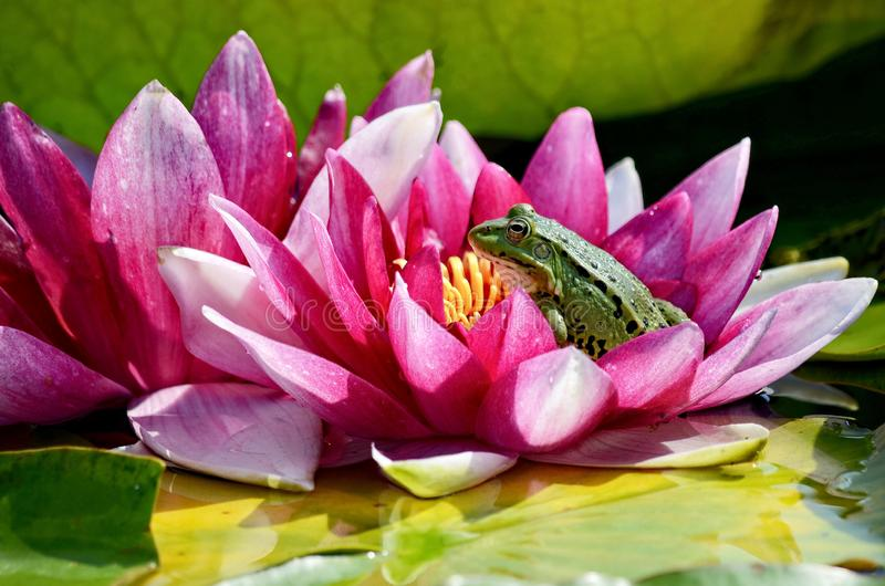 池蛙在一个红潮百合坐 免版税库存图片