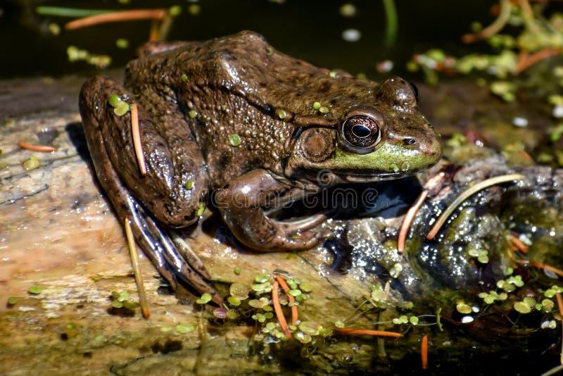 池蛙坐日志在天堂春天 图库摄影