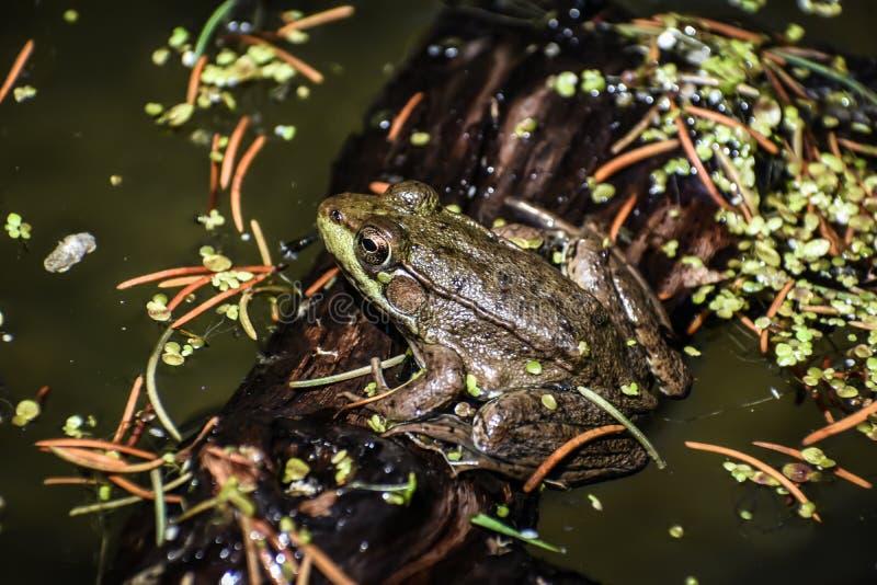 池蛙坐日志在天堂春天 免版税库存照片