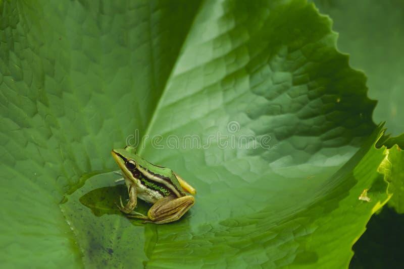 池蛙特写镜头在绿色叶子的 库存照片