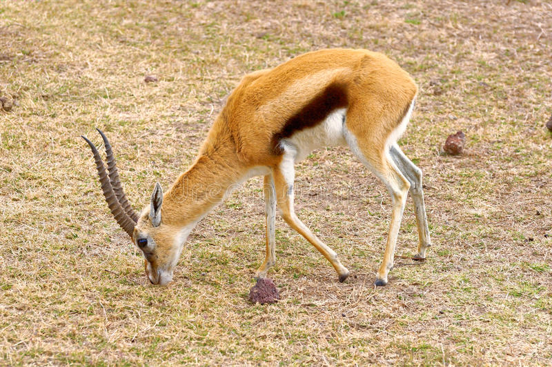 汤姆生的瞪羚男性,塞伦盖蒂,坦桑尼亚 库存图片