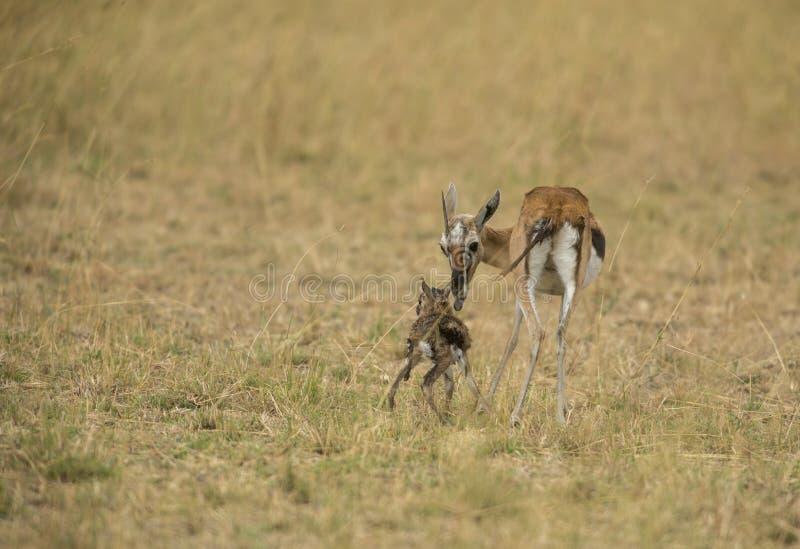 汤姆生瞪羚一头新出生的小牛在马塞语玛拉的 库存图片