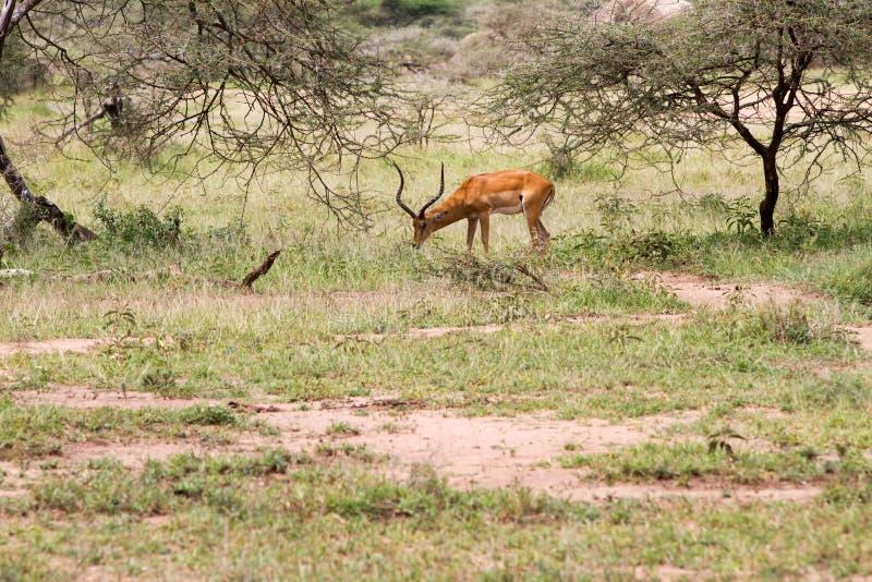 汤姆生` s瞪羚在塞伦盖蒂生态系,坦桑尼亚, 免版税库存图片