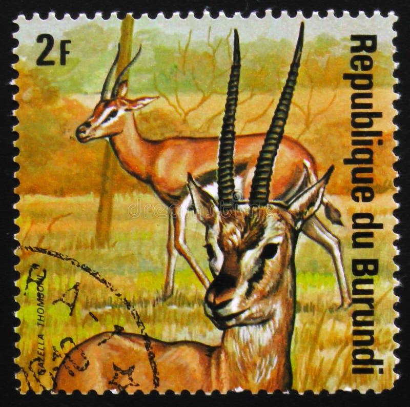汤姆生` s瞪羚Eudorcas thomsonii,系列动物布隆迪, 库存照片