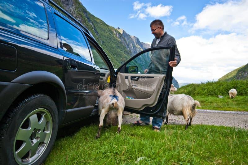 汽车山羊挪威 库存图片