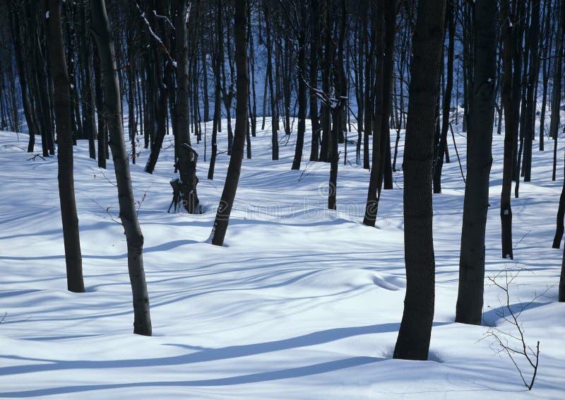 沈默白色森林 库存照片