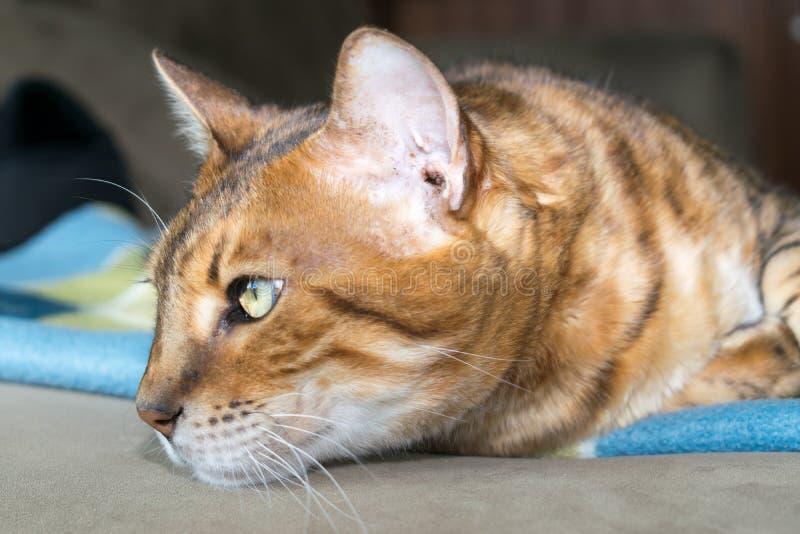 沉思孟加拉猫 库存照片