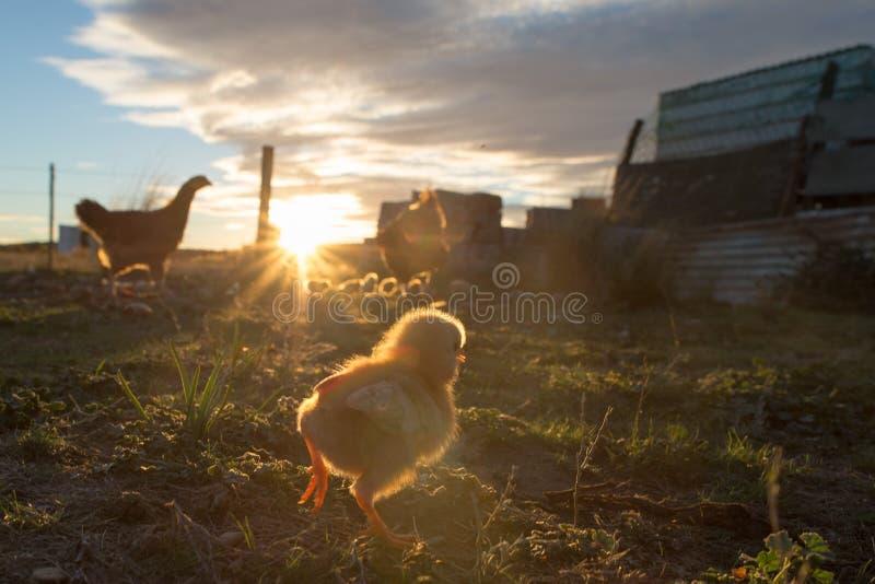 沉思的母鸡和小鸡在农场 免版税库存照片