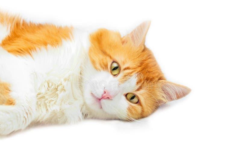 沉思的红色猫谎言 免版税库存图片