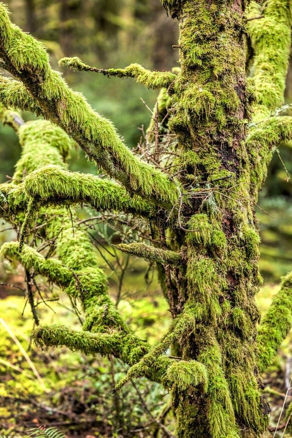 沉重关闭青苔被盖的树 库存图片