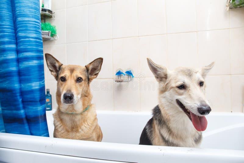 沐浴两条混杂的品种狗 洗泡末浴的狗 r 免版税库存图片