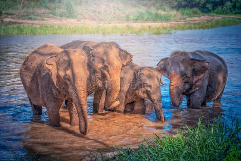 沐浴在河的大象家庭在清迈,泰国 免版税库存照片