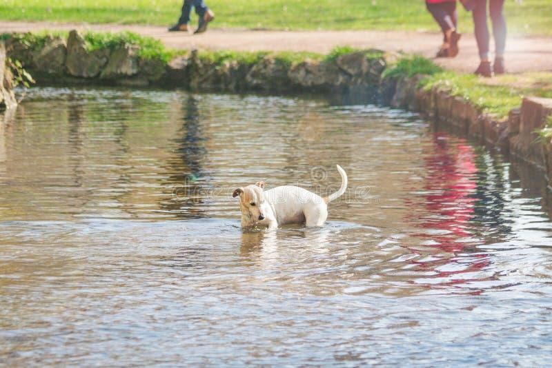 沐浴在湖的逗人喜爱的小狗 好日子,被定调子的照片 库存照片