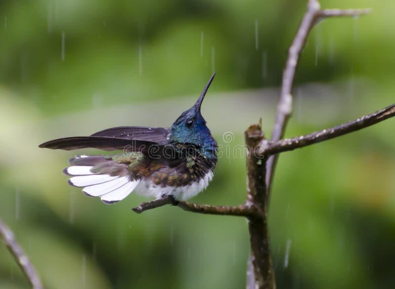 沐浴在雨中的白收缩的Jacobin 免版税库存图片
