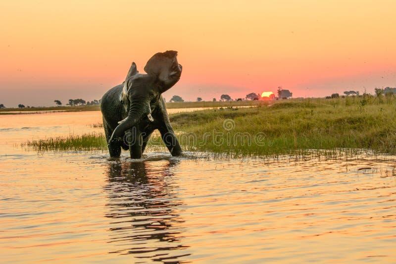沐浴在黄昏的非洲大象 免版税库存照片