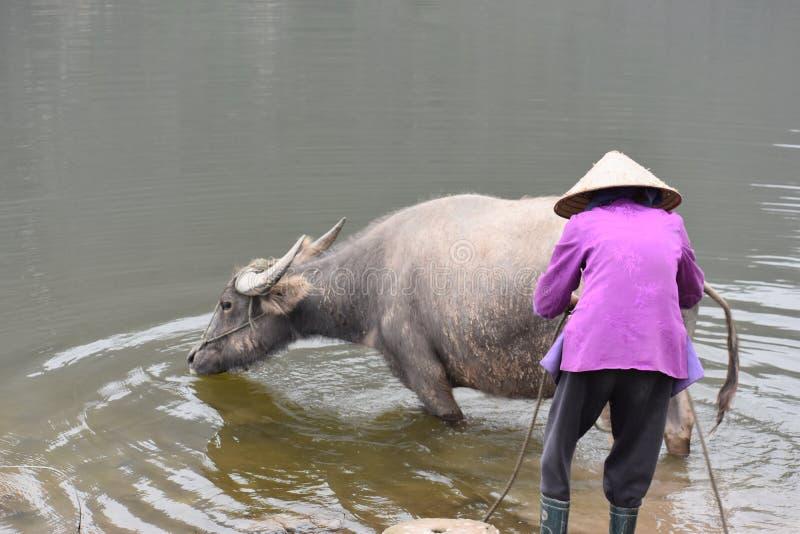 沐浴水牛的越南妇女的特写镜头在工作,越南,河内以后 免版税图库摄影