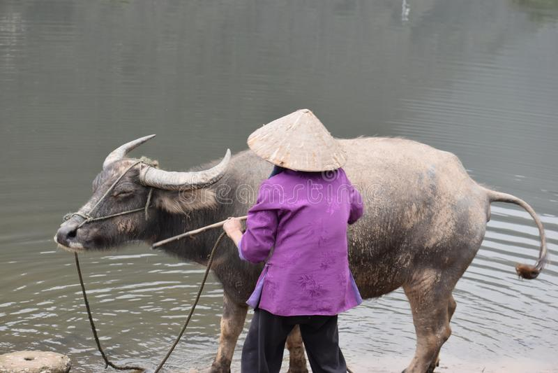 沐浴水牛的越南妇女的特写镜头在工作,越南,河内以后 图库摄影